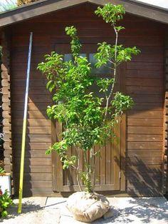 シンボルツリーとは? シンボルツリーとは、外構、そして住宅を引き立ててくれる樹木です。木が一本あるかないかで、家の印象は大きく変わります。植物育てるの苦手だからという方もいらっしゃると思いますが、ぜひ押さえておいて欲しい外構のポイントです。 シンボルツリーに向いている樹 シンボルツリーだとある程度の大きさがある木で、葉も茂り、見栄えのする木がいいと思います。例えば、シマトネリコやハナミズキ、ヤマボウシ、モミジ、エゴノキ、カツラ等が該当します。その中で勝手におすすめランキングを作ってしまいますので、お住まいの地域、気候によっては植樹不可能な可能性もありますので、ご確認お願いします。 // お客様…