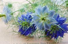 Nigellas 8月7日の誕生花。 ニゲラの花言葉。。夢で逢いましょう