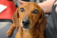 Oliver is an adoptable Dachshund Dog in Minneapolis, MN. Name: Oliver Breed: Dachshund Age: Adult Gender: Male Oliver is a 2 yr old, 12 lb male, smooth haired Dachshund that�was�found as a stray near ...