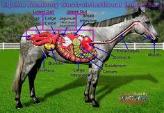 Spijsverteringssysteem paard