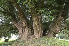 The ancient Ashbrittle Yew in Somerset | Older than Stonehenge: Britain's 'oldest tree' is feared to be dying after more than 4,000 years