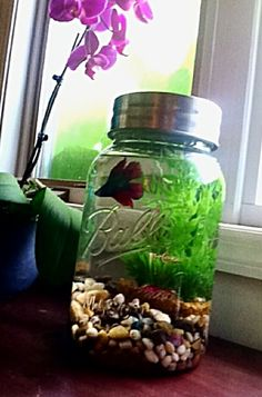 Gallon Mason Jar repurposed into a Betta fish tank