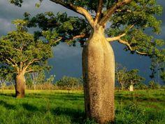 Boab trees, Kimberly Australia - What a neat tree.