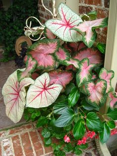 LOVE this use the caladiums and the dragonwing begonia for hte silver maple bed container! Assorted Caladiums Dragonwing Begonia (pink or red) Creeping Jenny or Swedish Ivy Flower Pots, Shade Plants, Container Flowers, Flowers, Garden Containers, Shade Garden, Caladium, Plants, Rare Flowers