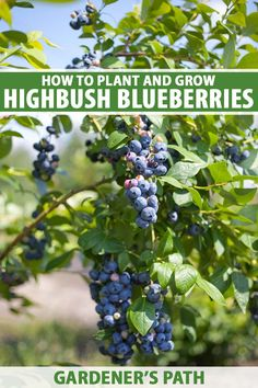 Highbush blueberries give you tons of fruit in the summer, have gorgeous blossoms in the spring, and turn bright colors in the fall. What's not to love? To learn everything you need to know to select, plant, and care for these fantastic fruits, read more on Gardener's Path. #growyourown #blueberry #gardenerspath Vegetable Gardening, Container Gardening, Gardening Tips, Fruit Bushes, Fruit Trees, Fruit Garden, Edible Garden, Highbush Blueberry, Variety Of Fruits