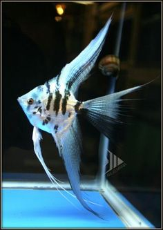 Electric Bule Marble Veil Fin Angelfish