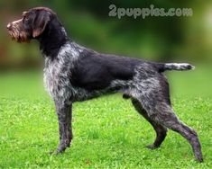 German Wire haired Pointing Dog dog breed description and characteristics Curly Coated Retriever, Pet Dogs, Dog Cat, Labrador Puppies, Retriever Puppies, Corgi Puppies, Doggies, Braque Du Bourbonnais, Dog Breeds Pictures