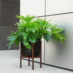 If you can't get out of the house as much right now, then bring the outside in with some leafy indoor friends.  Pictured is the @modernica Planter in Large with Wooden Legs.  @modernica #urbanjungle #plantlover #gardenlover #stuckindoors #lockdown #plants #design