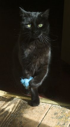 Black Cat ~ Daily Photo Reprise: I Have Vanquished the Blue Fuzzy, Crazy Cat Lady, Crazy Cats, I Love Cats, Cute Cats, Cat Boarding, Here Kitty Kitty, Beautiful Cats, Cat Breeds, Neko
