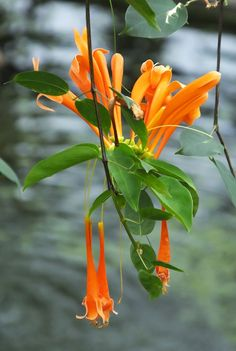 #Pyrostegia #venusta #Flame #Vine #flower #Brazil #Kew