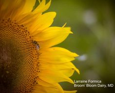 Sunflower Sunday: Latest collection of top pics from Broom's Bloom Dairy near Bel Air MD