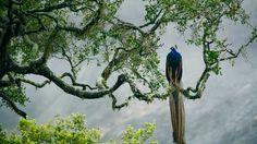 Indian peacock in Yala National Park, Sri Lanka (© Kevin Schafer/Minden Pictures)