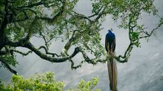Indian peacock in Yala National Park, Sri Lanka (© Kevin Schafer/Minden Pictures)