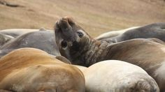Elephant Seals on Carcass Island just, well...doing nothing!