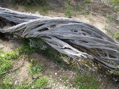 Driftwood - Point Lonsdale, VIC Australia [photo ©Danna Cleugh]