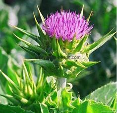 It is widely believed that Milk Thistle helps in protecting the human liver and gall bladder. As an herb, Milk Thistle has many other health benefits that have Herbal Remedies, Home Remedies, Natural Remedies, Healing Herbs, Medicinal Plants, Milk Thistle Benefits, Thistle Plant, Thistle Flower, Milk Thistle Extract