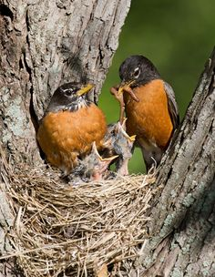 American Robin or North American Robin (Turdus migratorius) parents feeding young, is a migratory songbird of the thrush family. The American Robin is widely distributed throughout North America, wintering south of Canada from Florida to central Mexico and along the Pacific Coast. It is the state bird of Connecticut, Michigan, and Wisconsin.