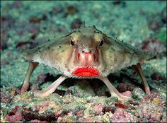 The red-lipped batfish gives the impression that it tried to compensate for an unusual body by caking on the lipstick. Interestingly, they are better suited for 'walking' along the ocean floor than swimming. When they reach adulthood, they use their dorsal fin as a fishing lure to attract prey instead of for swimming.