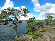 Some of the pine trees in the Finnish archipelago are more than 200 hundred years old. They get so little nutrition on the rocks that they grow very low like Bonsai.