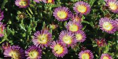 Delosperma Wheels of Wonder Hot Pink Herb Garden, Garden Art, Garden Ideas, Beautiful Gardens, Beautiful Flowers, Hd Flowers, Garden Online, Mediterranean Garden, Permaculture