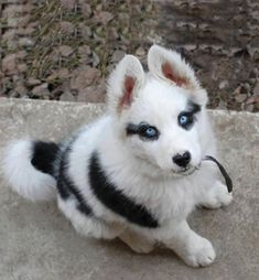 Such A Gorgeous Husky Puppy. Maybe as an oddball third puppy?