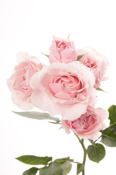 light pink spray roses - will be used for Flower Girls' crown and Mother of…