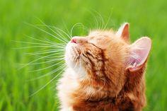 El ronroneo de los gatos y los astronautas http://blog.theyellowpet.es/ronroneo-gatos-astronautas/