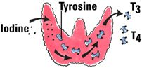 """""""Thyroid cells combine iodine and the amino acid tyrosine to make T3 and T4. T3 and T4 are then released into the blood stream and are transported throughout the body where they control metabolism (conversion of oxygen and calories to energy). Every cell in the body depends upon thyroid hormones for regulation of their metabolism. The normal thyroid gland produces about 80% T4 and about 20% T3, however, T3 possesses about four times the hormone """"strength"""" as T4."""""""