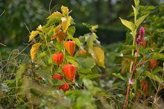 Pestovanie machovky je úplne jednoduché! A na jeseň ju oceníte Stuffed Peppers, Vegetables, Plants, Stuffed Pepper, Vegetable Recipes, Plant, Stuffed Sweet Peppers, Veggies, Planets