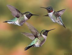 A male ruby-throated hummingbird (montage), Quebec, by Michel Roy