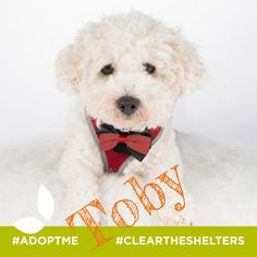 Meet Toby, he's an incredibly sweet & easy going Bichon Frise. He has excellent manners, loves getting his ears rubbed and thoroughly enjoys the luxury of a fluffy dog bed. He's with our friends at Underdog Rescue, MN Visit their site for more details!   #cleartheshelters #adoptme #findmyforeverhome