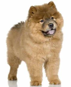 beautiful puppies | Chow Chow Puppy Most Beautiful Puppies To Have As A Pet