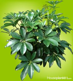 Schefflera #houseplants love to be pruned. New growth appears directly below the cut in the stem. http://www.houseplant411.com/houseplant/hawaiian-schefflera-plant