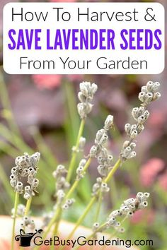 Did you know that expanding your lavender into other areas of your garden can be as easy as collecting the seeds from your existing plants? In my guide on how to get seeds from lavender I'll show you exactly how to harvest them from English, French, or even Spanish varieties. Learn the signs that your plant is ready, and how to dry and store your harvest. I'll even share what it means that lavender has cold stratification seeds, and why that's important if you want to use them for replanting. Growing Vegetables, Growing Plants, Water Plants, Garden Plants, Lavender Seeds, Diy Garden Bed, All About Plants, Climbing Vines, Cold Frame