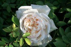 'White Gold', ca. 120x120; sie blüht als eine der ersten im Jahr und bis in den Frost hinein. Der Duft ist toll.Sie ist sehr robust und winterhart; die Blüten sind regenfest