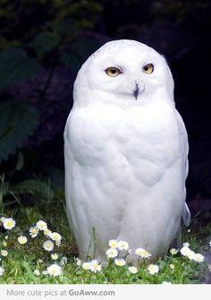 Snow Owl - goaww.com