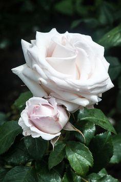 Rosa Belmonte ('Harpearl'), late June. A pale pink floribunda rose, with medium scent. From Harkness Roses, 2007. Photo; Alan Buckingham
