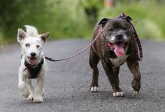 A Blind Dog Has His Own Seeing-Eye Dog and They Are Inseparable