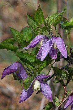 A wild Purple Clematis (rare) - Shenandoah National Park