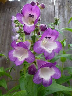 Penstemon 'Violet Kissed'