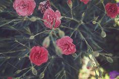 Pink Carnation Photos Pink Carnation by Kim Robbins-Photographer