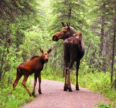 moose on the path; reminds me of  'Northern Exposure'...Broadcast 1990-5 on CBS. Had 5 seasons.   http://www.nndb.com/tv/475/000049328/