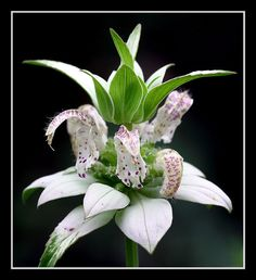 beebalm, spotted, 320 seeds, RARE PERENNIAL! white flower, GroCo*
