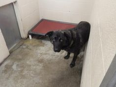 Ranger - URGENT - PIKE COUNTY ANIMAL SHELTER in Pikeville, Kentucky - ADOPT OR FOSTER - Adult Male Shepherd Mix