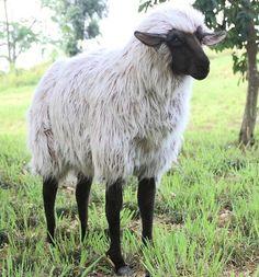 """""""Lady Ba Ba"""" Sheep"""
