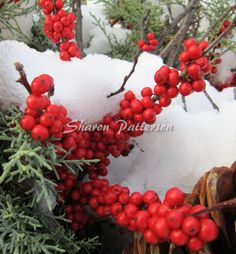 Photograph of winter berries. Artwork by Sharon Patterson may be PURCHASED at: http://1-sharon-patterson.fineartamerica.com/ AND http://www.canstockphoto.com/SharonPatterson/