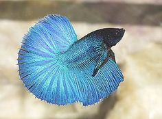 Betta Fish Colors and Patterns