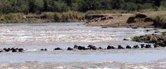 Around 3000 wildebeests drown every year while crossing the Mara River.