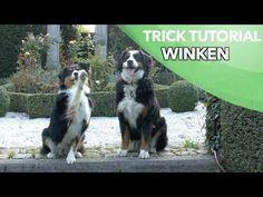 Winken - Einsteigertrick 2 von 3 - Leichte Hundetricks beibringen - Clicker Australian Shepherd - YouTube