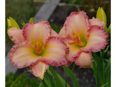 Daylily 'Frosted Vintage Ruffles'
